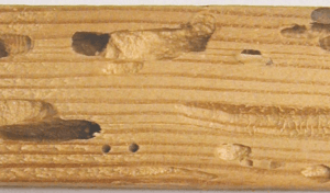 degradation of wood capricorne
