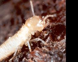 comment déceler la présence de termites