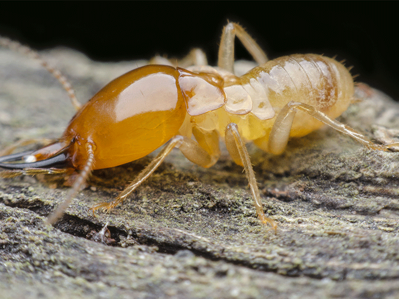 treatment termite