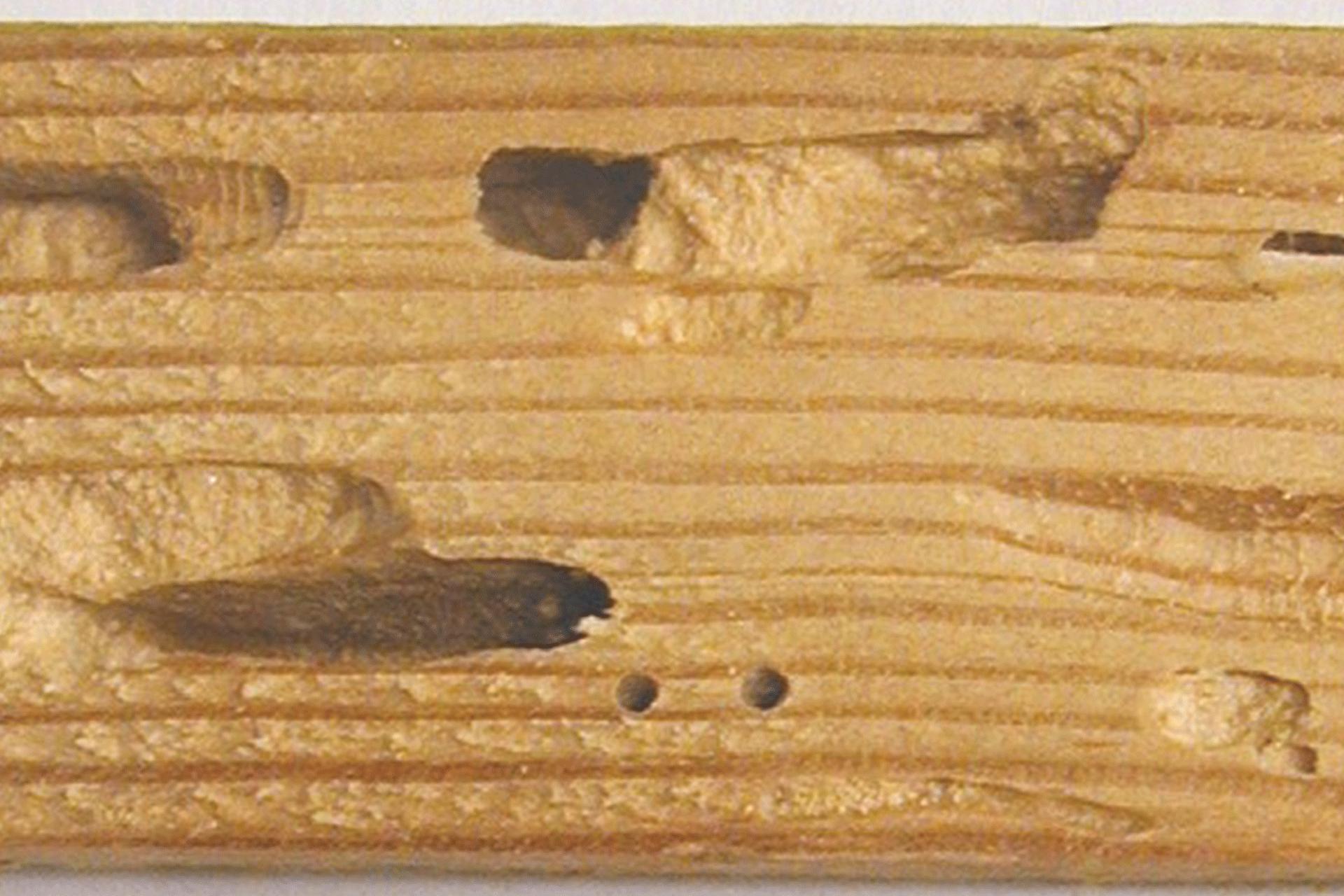 le bois endommagé par le capricorne