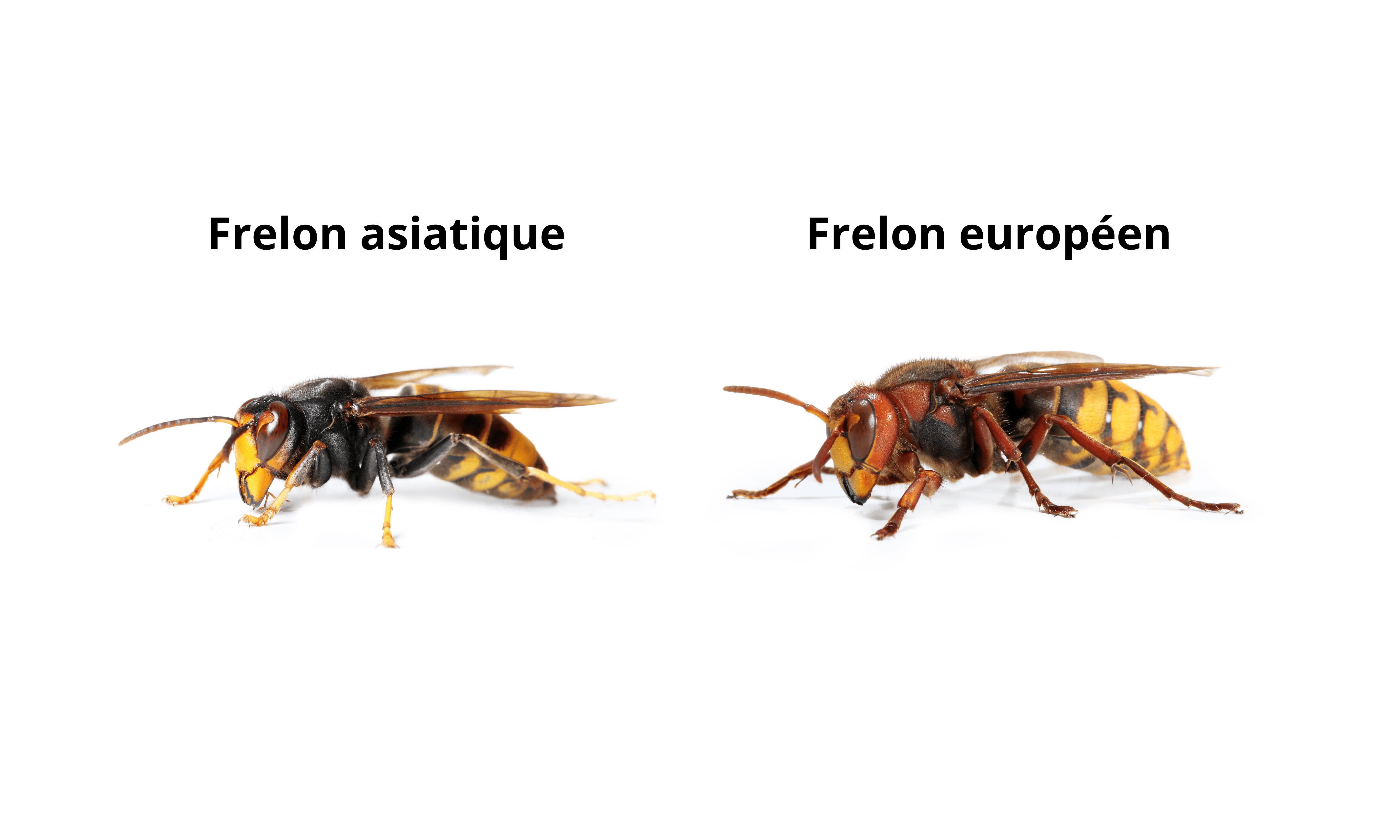 frelons asiatiques et frelons européens